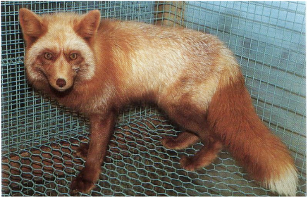 Red Fox Colour Mutations - LIVING WITH FOXES